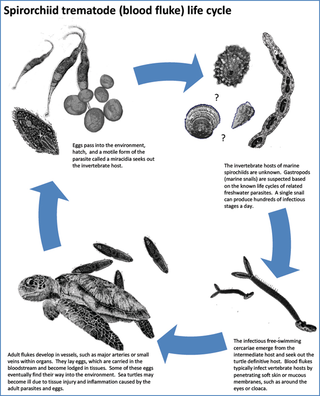 Parasites - Sea Turtle Guardian